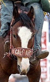 Not only is the Calgary Stampede one of the greatest rodeos in the world, the company also is one of the great stock contractors in the sport.