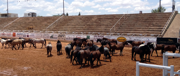 Bucking horses from Carr Pro Rodeo hang out in the Big Spring (Texas) Rodeo Bowl on Friday afternoon before the second performance of the Big Spring Cowboy Runion and Rodeo. (SANDY GWATNEY PHOTOS)
