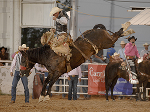 Carr Pro Rodeo's Cool Runnings bucks with Will Smith this June in Pecos, Texas. The horse will be matched with Troy Crowser in Lovington. (ROBBY FREEMAN PHOTO)