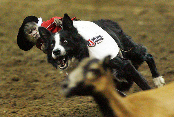 Whiplash the Cowboy Monkey will be one of the featured pieces of entertainment during the Ram National Circuit Finals Rodeo, set for April 4-6 at State Fair Arena in Oklahoma City.