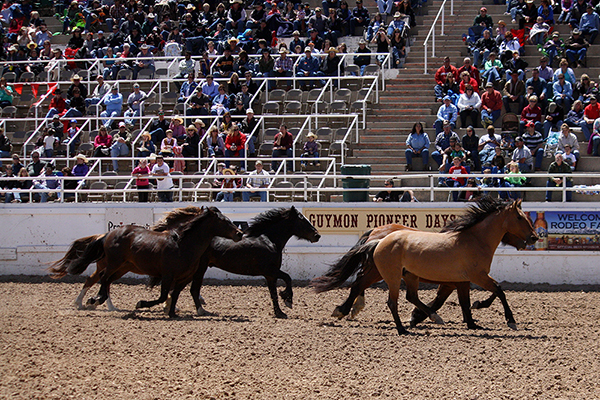 Carr Pro Rodeo and Pete Carr's Classic Pro Rodeo  bucking horses are introduced before the fans in Guymon, Okla., earlier this year. The Carr companies' attention to high quality production is a major piece of the puzzle for rodeos.