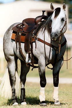 Pieper Ranch's Playgun is a 22-year-old gray stallion and serves as the namesake for the 2-year-old rising star in the bucking bull business owned by McCoy Ranch. The bull Playgun will be part of McCoy Ranch's Production Sale, which takes place Tuesday-Wednesday on http://TheBreedersConnection.com.