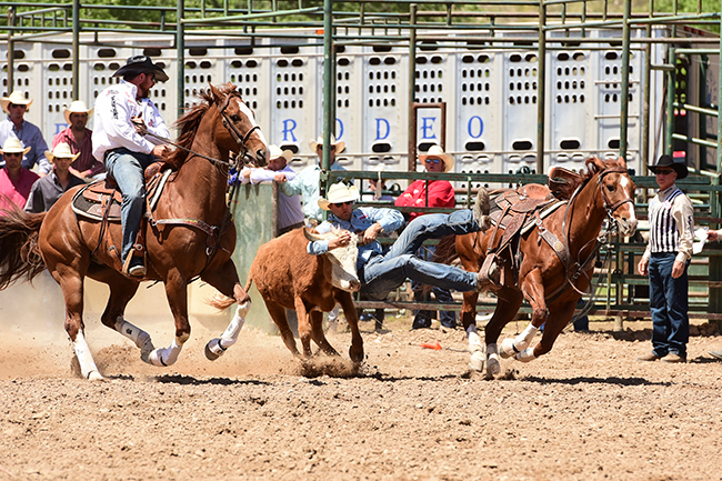 Tyler Waguespack makes a solid run to finish in 4.5 seconds in his third-round run in Guymon. He leads the average with a two-run cumulative time of 12.1 seconds. His hazer on this run, Clayton Hass, sits second in the average. They both bulldog on Cadillac, the 2014 PRCA/AQHA Steer Wrestling Horse of the Year. (JAMES PHIFER PHOTO)